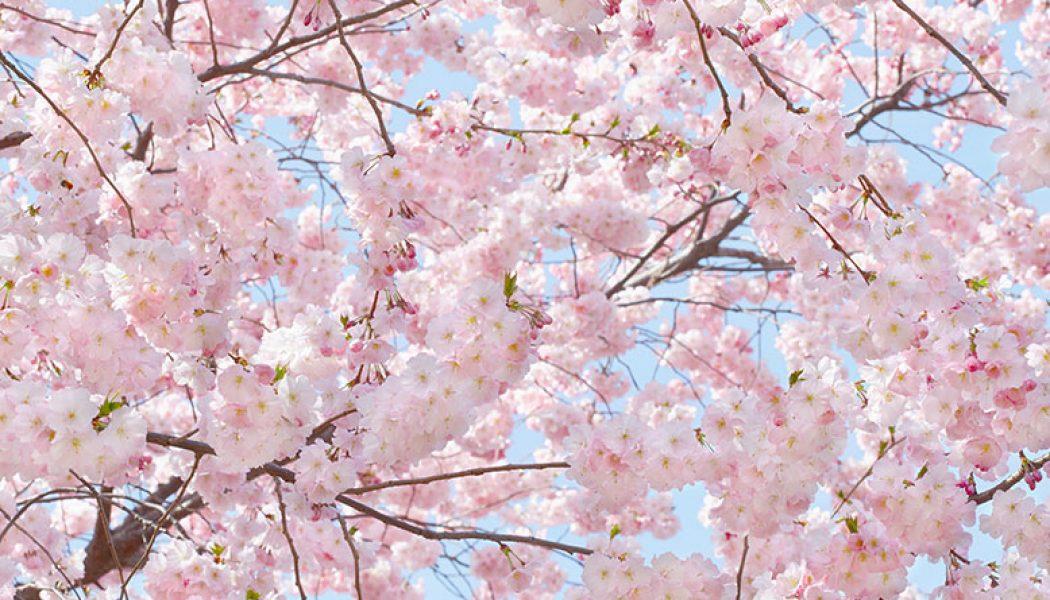 Fototapet Pink Blossoms